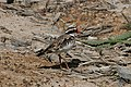 CSIRO ScienceImage 3479 Blackfronted Dotterel Flinders Victoria.jpg
