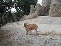 Cabra-zoo de barcelona - panoramio.jpg
