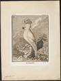 Cacatua molluccensis - 1700-1880 - Print - Iconographia Zoologica - Special Collections University of Amsterdam - UBA01 IZ18600009.tif