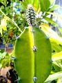Cactus Bud.jpg