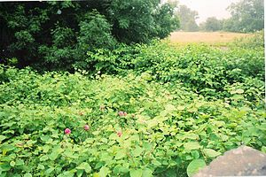 Fallopia japonica - A hedgerow made up of roses and Japanese knotweed in Caersws, Wales, in 2010