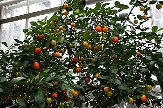 Calamondin - Calamondin tree with fruit