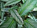 Calathea ornata - Feb 2011.jpg