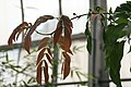 Calliandra haematocephala Nana 0zz.jpg