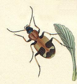 Callistus lunatus.jpg