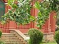 Calophyllum inophyllum-bangalore-India.jpg
