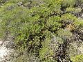 Calothamnus hirsutus (habit).JPG