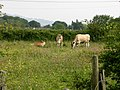 Calves in a meadow - geograph.org.uk - 462902.jpg