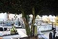 Camélia japónica no Cemitério de Agrela - 02.jpg