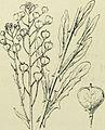 Camelina sativa subsp. alyssum (1).jpg