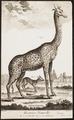 Camelopardalis giraffa - 1700-1880 - Print - Iconographia Zoologica - Special Collections University of Amsterdam - UBA01 IZ21600147.tif