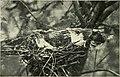 Camera studies of wild birds in their homes (1911) (14564889639).jpg