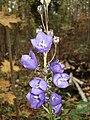 Campanula persicifolia 02.JPG