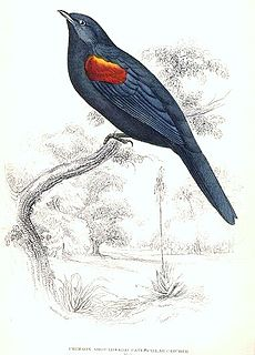Red-shouldered cuckooshrike species of bird