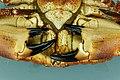 Cancer pagurus - Crabe dormeur - Tourteau - 014.jpg