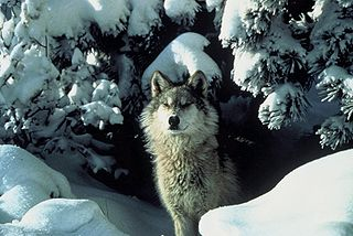 Loups noirs d'Amérique dans LOUP 320px-Canis_lupus_standing_in_snow
