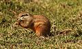 Cape ground squirrel, Xerus inauris, at Krugersdorp Game Reserve, Gauteng, South Africa (26873000214).jpg