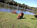 Capivaras no Lago Municipal de Cascavel (PR).jpg