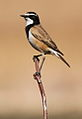 Capped Wheatear, Oenanthe pileata at Suikerbosrand Nature Reserve, Gauteng, South Africa (14996054228).jpg