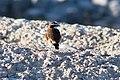 Capped wheatear - Svartbröstad stenskvätta (Oenanthe pileata)-5625 - Flickr - Ragnhild & Neil Crawford.jpg