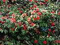Carbonero rojo (Calliandra hematocephala) (14515835109).jpg