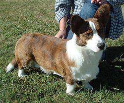 Brindle and white Cardigan Welsh Corgi