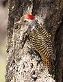 Cardinal Woodpecker - MALE, Dendropicos fuscescens at Pilanesberg National Park, Northwest Province, South Africa (14905292909).jpg