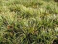 Carex DSCF5385.JPG