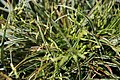 Carex conica Snowline 1zz.jpg