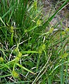 Carex demissa plant (7).jpg