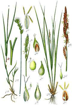 Carex spp Sturm32