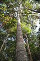 Castanheira - Amazônia.jpg