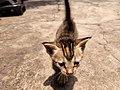 Cat (Kitten).jpg