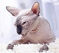 Cat - Sphynx. img 041.jpg