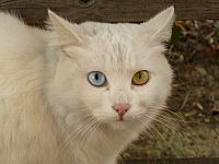 Cat Briciola with pretty and different colour of eyes.jpg