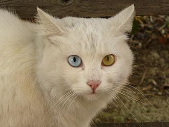 Cat health - A cat displaying heterochromia