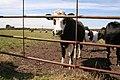 Cattle, Lamb Hill - geograph.org.uk - 35496.jpg