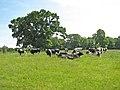 Cattle in Raveningham Park - geograph.org.uk - 1337947.jpg