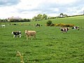Cattle near Six Road Ends - geograph.org.uk - 435763.jpg