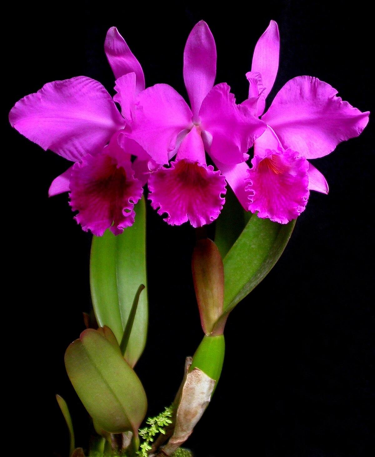 Cattleya wikipedia for Orchidea cattleya