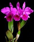 Cattleya labiata rubra schuller.jpg