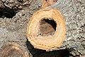 Cavités dans des bûches de peuplier blanc (28).JPG