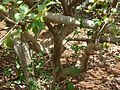 Cayennekirsebær (2464175001).jpg