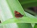 Celaenorrhinus ladana (39384143660).jpg