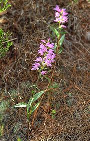 Cephalanthera rubra LC0054.jpg