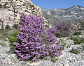 Cercis occidentalis red rock canyon.jpg