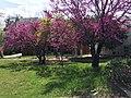 Cercis siliquastrum - Judas tree 04.jpg