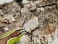 Cerura vinula (larva) - Puss moth (caterpillar) - Большая гарпия (гусеница) (42988888111).jpg