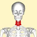 Cervical vertebrae front.png