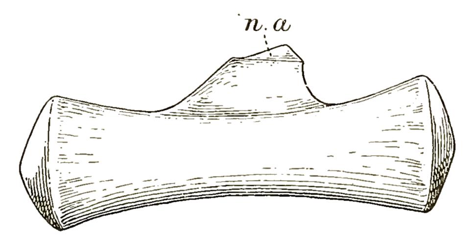 Cetiosauriscus distal caudal